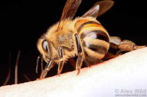 The Worst Places To Get Stung By A Bee: Nostril, Lip, Penis