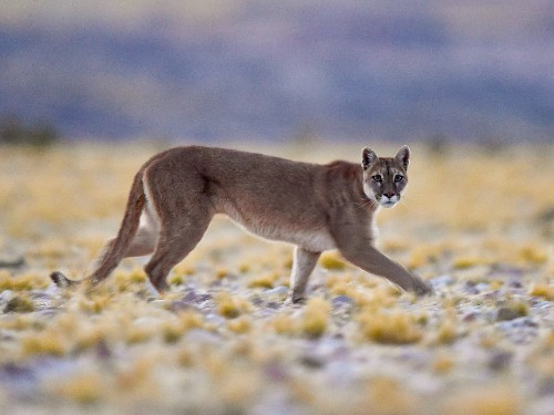Andean Pumas Bring National Park in Argentina Back to Life
