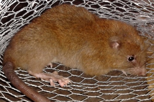 Giant Rat That Fell From Sky Is New Species