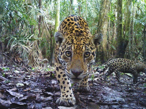 """Indomitable"" Jaguars May Have Lessons in Survival for Us"
