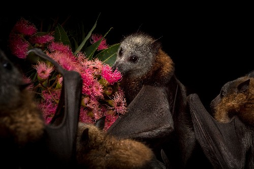 Meet Australia's urban flying foxes—and the people trying to help them