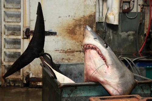 Record-Breaking Mako Shark Tips Off Conservation Debate