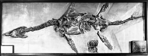 Paleo Profile: Atychodracon megacephalus