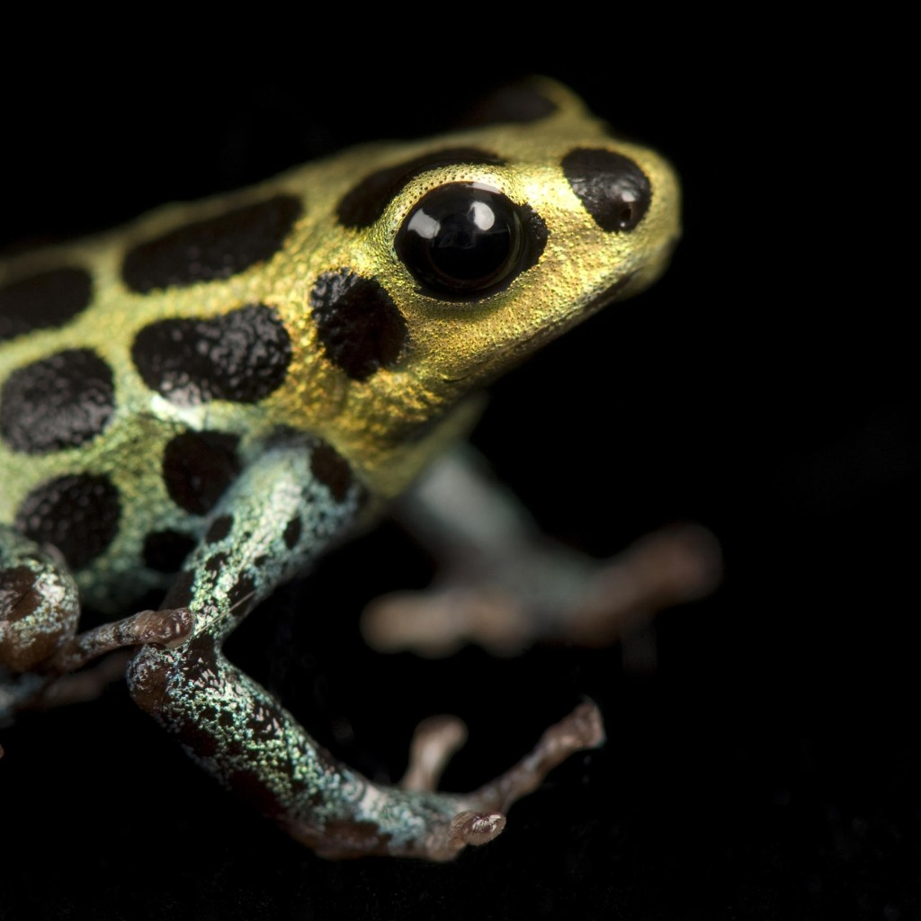 Poison Dart Frogs | National Geographic