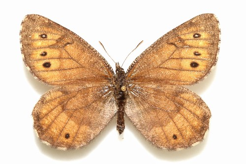 New Butterfly in Alaska Identified from Museum Collection