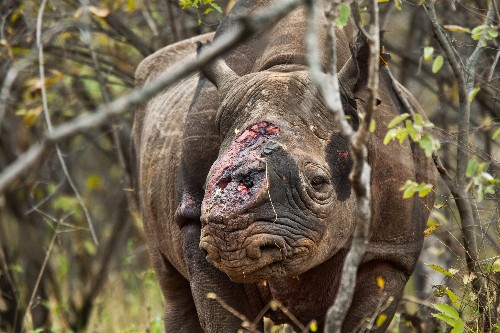 Convicted Drug Dealer Indicted for Selling Rhino Horns