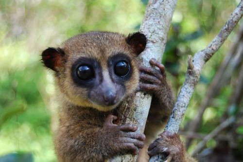 Big-Eyed, Fluffy-Tailed Lemur Species Discovered