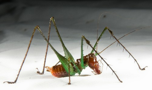 "World's Loudest Animals—""Power Saw"" Cricket, More"
