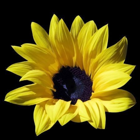 An Amazingly Beautiful Sunflower Photo by Johanna Hurmerinta — National Geographic Your Shot