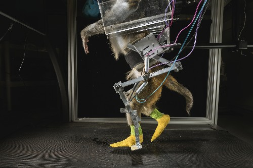 Monkeys Steer Wheelchairs With Their Brains, Raising Hope for Paralyzed People