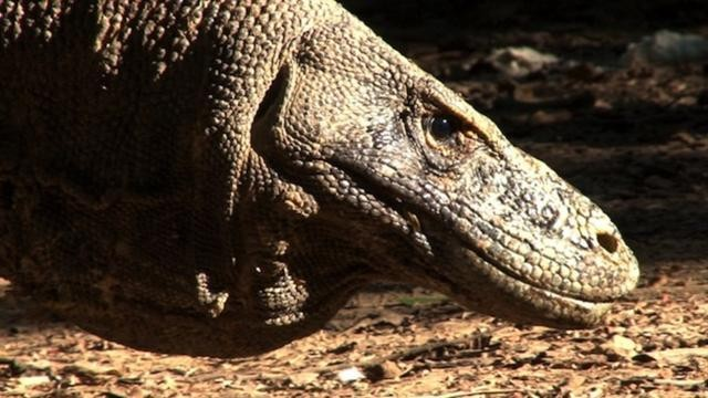 Komodo Dragon | National Geographic