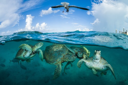 Sea turtles are down but not out