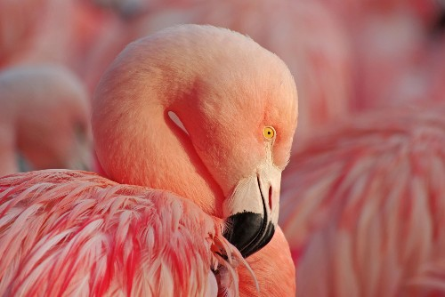 Surprising Origin of American Flamingos Discovered