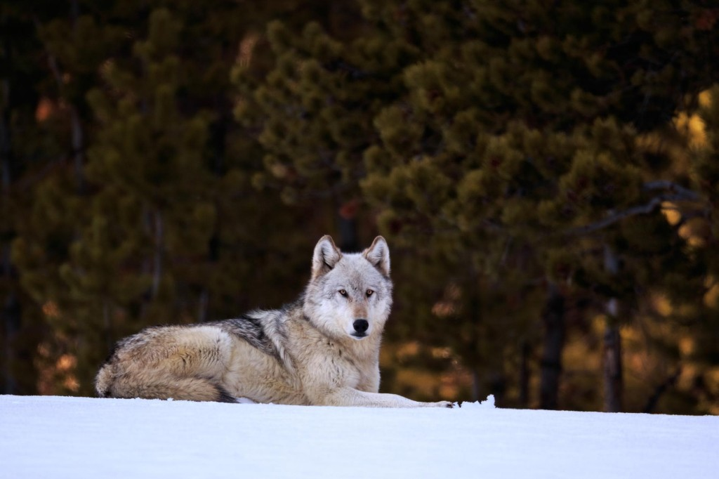 Gray wolves to be reintroduced to Colorado in unprecedented vote