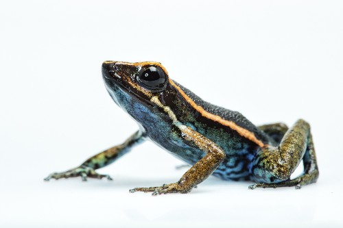 New Poisonous Frog Species Discovered in Peru