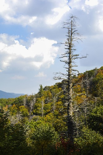 Are Harvard's Dying Hemlocks a Warning for Trees Everywhere?