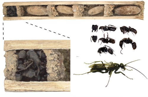 Newly Discovered Wasp Plugs Nest With Cork of Ant Corpses