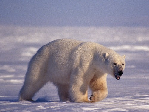 Is Pollution Weakening Polar Bears' Ability to Mate?