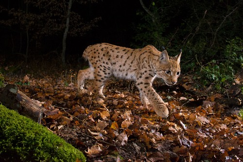 Europe's Big Cat: Rare Photographs of Lynx in the Wild