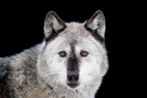 Could U.S. Endangered Species Rules Go Extinct?