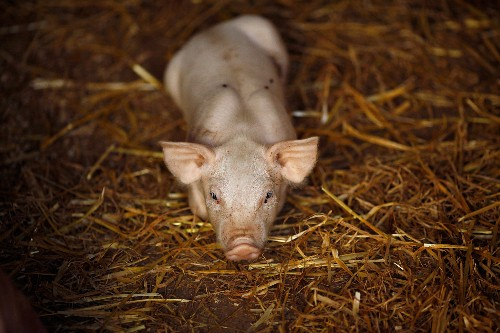 Infertility in Spanish Pigs Has Been Traced to Plastics. A Warning for Humans?