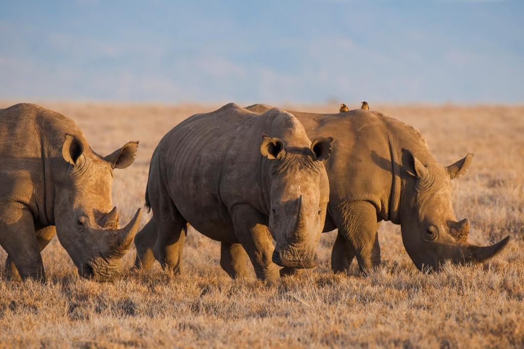 China allows rhino horn, tiger bone use in medicine