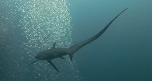 Thresher Sharks Hunt With Huge Weaponised Tails
