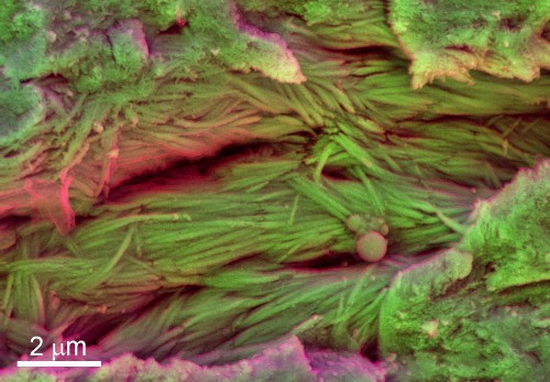 Scrappy Fossils Yield Possible Dinosaur Blood Cells