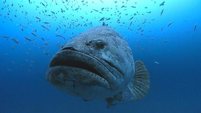 Watch a Goliath Grouper Drag a Fisherman and Take His Catch