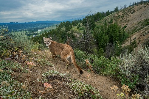 Cougar or not? Why we think we see big cats in our backyards.
