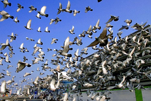 After Tens of Thousands of Pigeons Vanish, One Comes Back