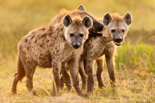 Hyenas have a bad rap—but they're Africa's most successful predator