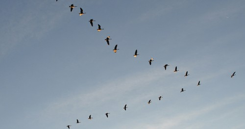 Birds That Fly in a V Formation Use An Amazing Trick