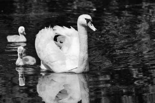 Swan delight ... Photo by Paul Martens — National Geographic Your Shot