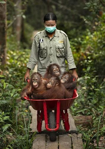 Orphaned Orangutans, Borneo Photo by Mark Edward Harris — National Geographic Your Shot