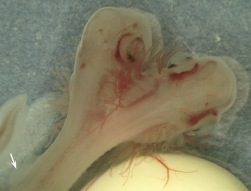 Two-Headed Shark Is First of Its Kind