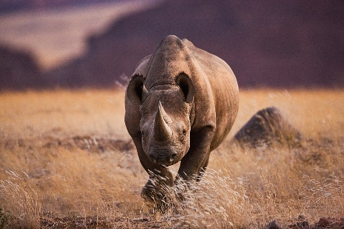 Rhino Hunt Permit Auction Sets Off Conservation Debate