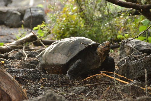 How an 'extinct' tortoise was rediscovered after a century