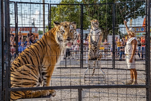 Captive tigers in the U.S. outnumber those in the wild. It's a problem.