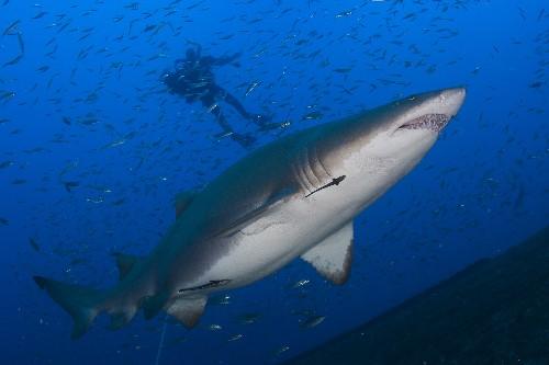 Why Are So Many Shark Attacks Happening in North Carolina?