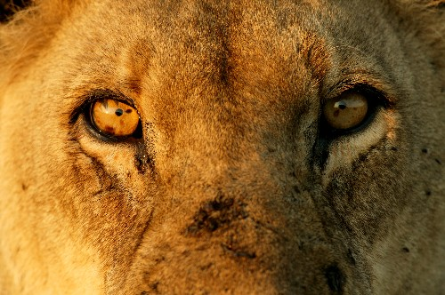 Africa's Lions May Be Deemed Threatened in U.S.—Will It Help?