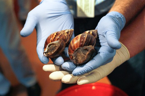 "Giant Snails Invading Florida, ""Major Threat"" to Crops"
