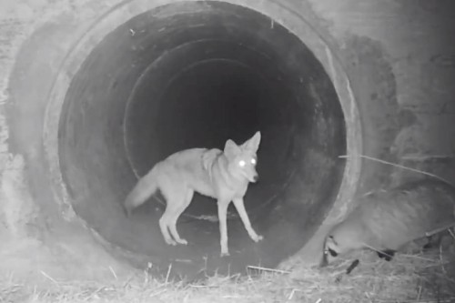 Why this coyote and badger 'friendship' has excited scientists