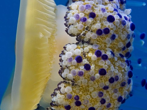 Fried Egg Jellyfish Photo by Manuel Bustelo — National Geographic Your Shot