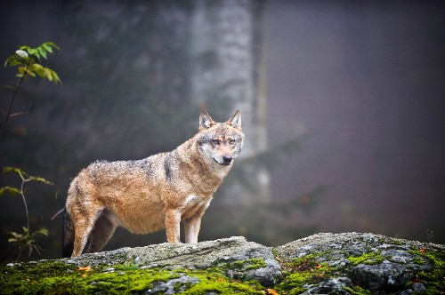 New Theory: Hunter-Gatherers Domesticated Dogs From Gray Wolves