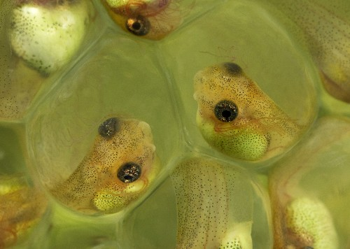 Baby Frogs Have a Super-Speedy Way to Escape Snakes