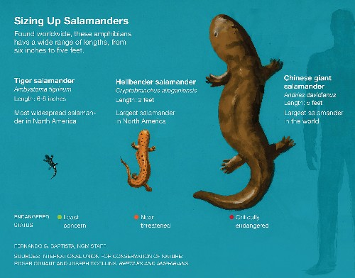 This Giant Salamander Isn't 200 Years Old, But It's Still Super Rare