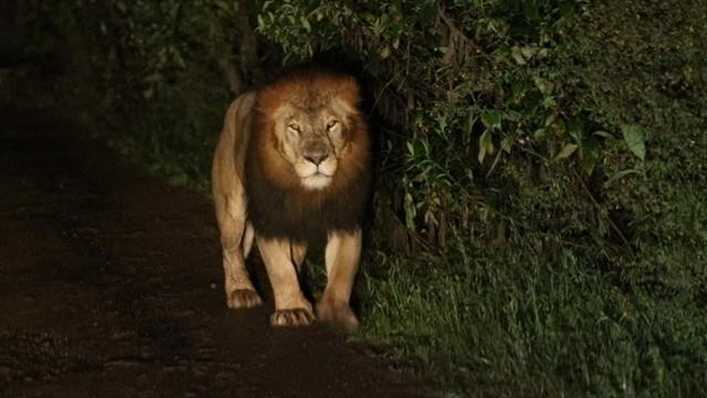 A Riveting Encounter with a Rare Black-Maned Lion