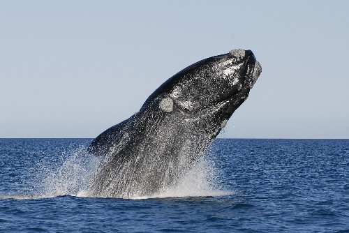 Mysterious Deaths Threaten a Population of Southern Right Whales