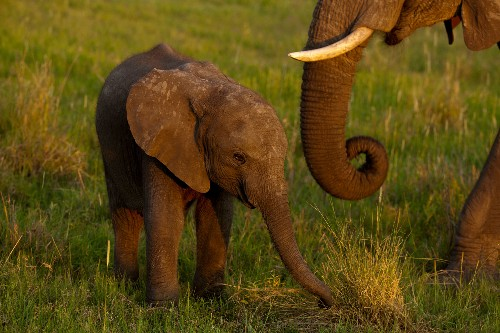African elephants can now only rarely be taken from the wild and sent to faraway zoos